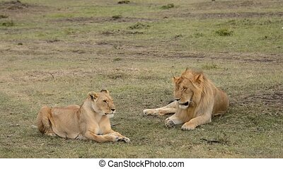 lions - lions in the savannah