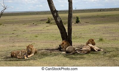 lions in the savannah
