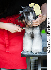 Miniature Schnauzer dog haircut - Miniature Schnauzer dog...