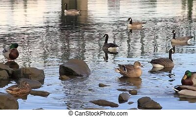 Waterfowls in Willamette River - Ducks and Canada Geese...
