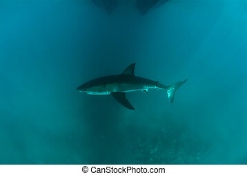 Undercover - The view of a great white shark swimming...