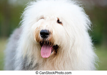 Old English sheepdog - Portrait of an old English sheepdog