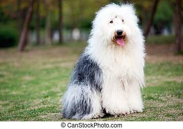 Old English sheepdog - An old English sheepdog standing on...
