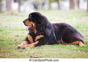 Tibentan Mastiff Dog - Tibentan Mastiff dog lying on the...