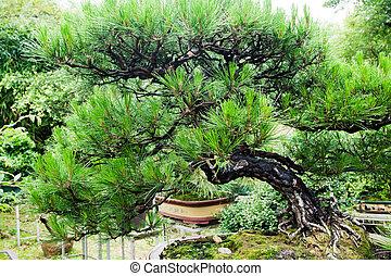 China bonsai