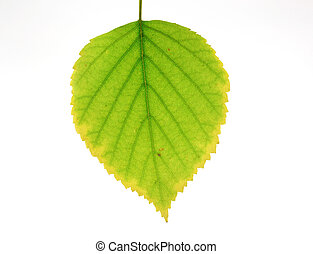 Autumn leaf of birch