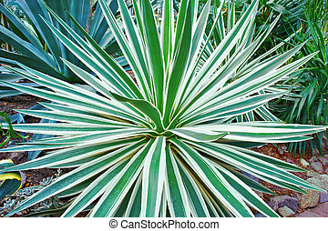 agave - different types of agave in the thickets of tropical...
