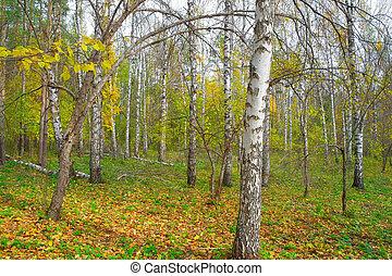 In autumn birch grove