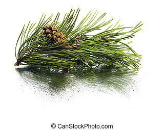 Pine branch with cones on a white background with water drop