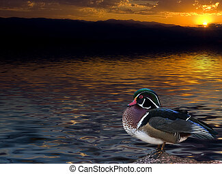 Watching the sunset - Wood duck standing at the edge of a...