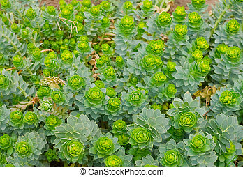green flowering plants - background of small green flowering...