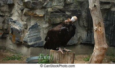 Black vulture. - Black vulture in ZOO.