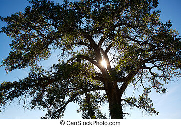 Poplar Tree and Sun - North American Cottonwood Poplar tree...