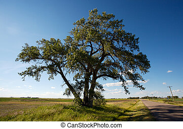 Poplar Tree and Road - Large old Cottonwood Poplar Tree...