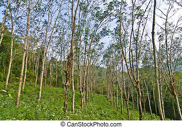 rubber tree plantation in Thailand
