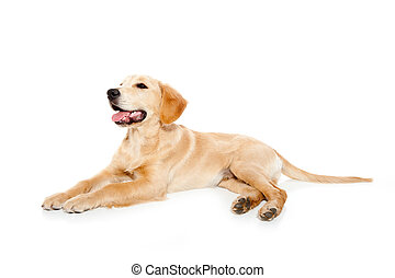 Golden retriever dog puppy isolated on white background