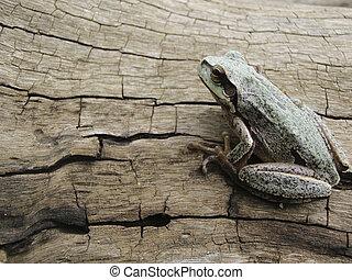 Tree frog - European tree frog on dead tree trunk