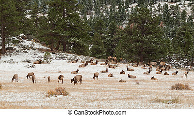 Elk in Winter - Elk in Rocky Mountain National Park,...