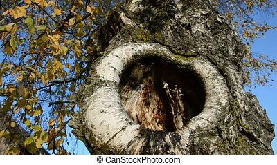birches with hollow in autumn - old birches with hollow in...