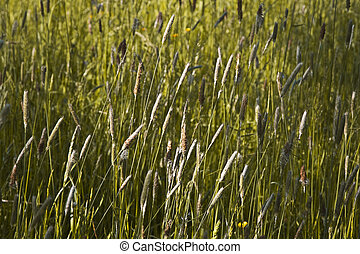 grass and blooming flowers in a meadow