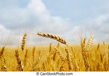 gold barley close up