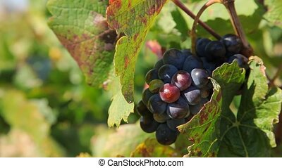 Black grapes - Black Muscat Grapes at Vineyard