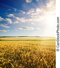 field of wheat under cloudy sky with sun