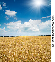 field of wheat under sun
