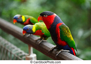 Black-capped lories (Lorius lory)