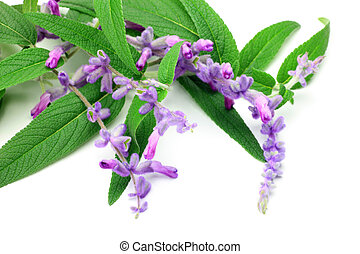 amethyst sage - I took amethyst sage in a white background.