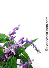 amethyst sage - I took amethyst sage in a white background