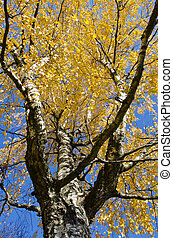 october birch branches and golden foliage