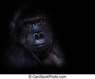 Gorilla - Photo taken in the Zoo