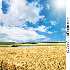 field of cereal wheat under sunny sky