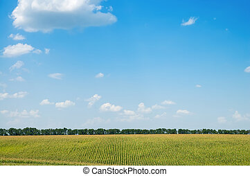 field with corn under blue sky with clouds