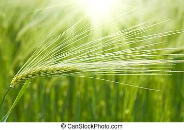 green wheat in field under sunrays