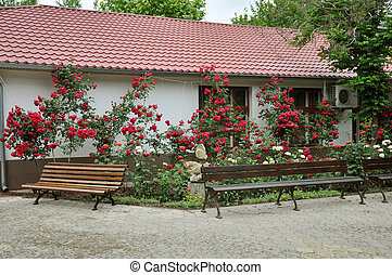 Beautiful red roses in front of the house