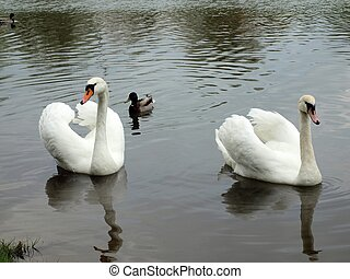Two swans - Swans in the river Nevezis. Lithuanian city...