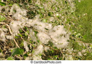 Allergy season - Poplar tree covered by white fluff with...