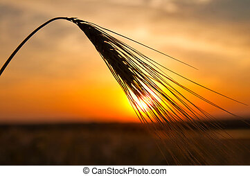 sunset on field at summer ears of wheat sun against