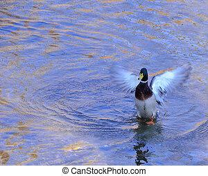 Mallard Duck - A male mallard duck getting ready to fly in a...