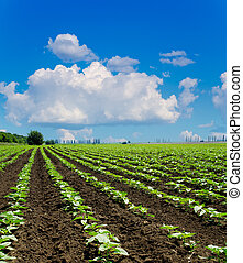 field with green sunflowers under deep blue sky