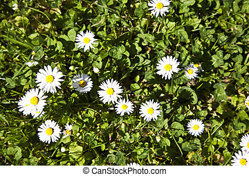 beautiful marguerites - marguerites in grass in teh garden...