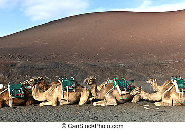 camels in the national park in Lanzarote - camels in...