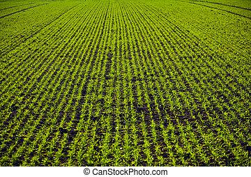 freshly growing plants on acre in harmonic rows
