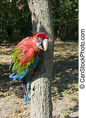 Red-and-green macaw - Young red-and-green macaw Ara...