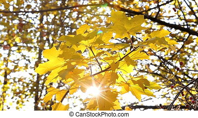 autumn leaves - suns rays shining through autumn leaves