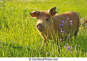 Happy pig in green grass