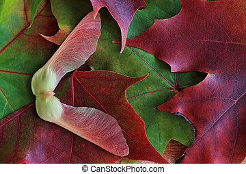 Maple Tree Seed and Autumn Leaves - A Maple Tree Seed rests...