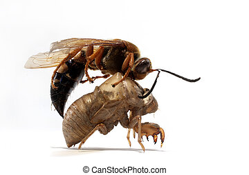 A close up photograph a dead cicada killer wasp on the shed...